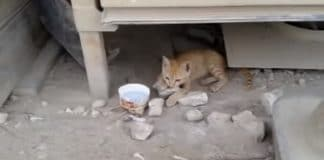 Abagail, Feral Kitten Nurtured by Soldiers in Middle East - VIDEO