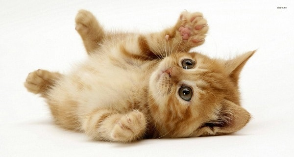 Rolling Behavior in Cats Explained - Video