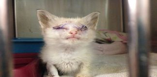 TRAUMATIZED KITTY WHO LOST BOTH EYES PUTTING HER BEST PAW FORWARD TO GET ON WITH LIFE