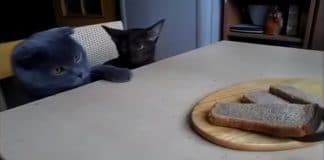 These Two Kitties Are Conspiring a Plot to Steal Their Human's Bread