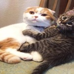 SCOTTISH FOLD BECOMES FOSTER DAD TO YOUNG KITTEN NAMED XENA