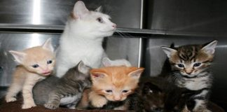 Rescued Stray Cat Gives Birth to Three Kittens But Ends Up with Six Babies!