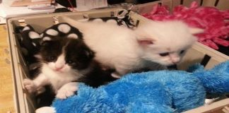 Tiny Rescue Kitten Takes Tinier Orphan Kitten Under His Wing