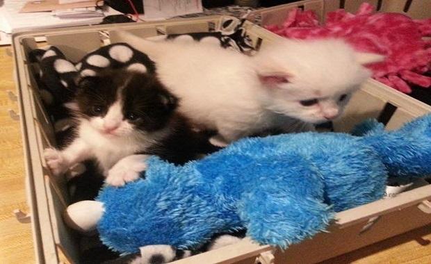 Tiny Rescue Kitten Takes Tinier Orphan Kitten Under His Wing