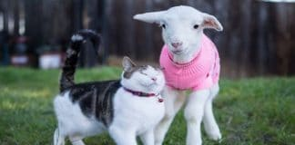 Stitch the Rescue Kitten Takes Care of Sick Farm Animals