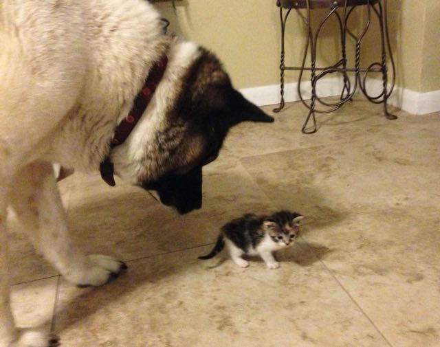 Lily-the-Akita-meets-her-new-kitten-friend-Imgur