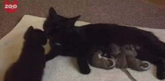 Cat Becomes Mom To Unlikely Children