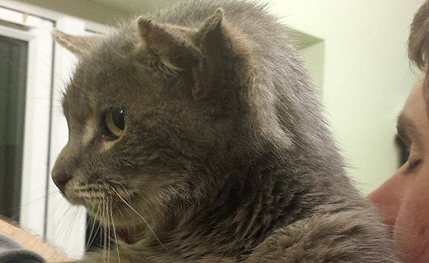 Three-eared Cat Called Captain Kirk Found Roaming Streets of Norfolk