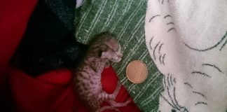 The 40 Gram Rescue Kitten One Couple Would Not Give Up On