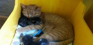 Male Cat With Special Needs Becomes Surrogate Mom For Litter of Kittens - WATCH THE ADORABLE VIDEO