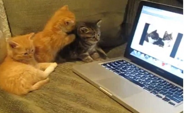 Group of Kittens Clamour to 'Talk' to a Pair of Cats Miaowing on a Laptop Screen