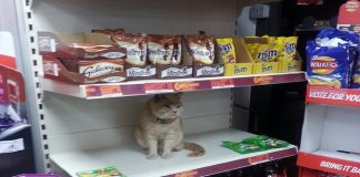 Meet the Cat Who Chose The Shelf In A Store To be His ... Forever Shelf?