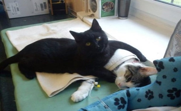 Rescue Cat Becomes Nurse at Shelter Caring For Sick and/or Injured Animals