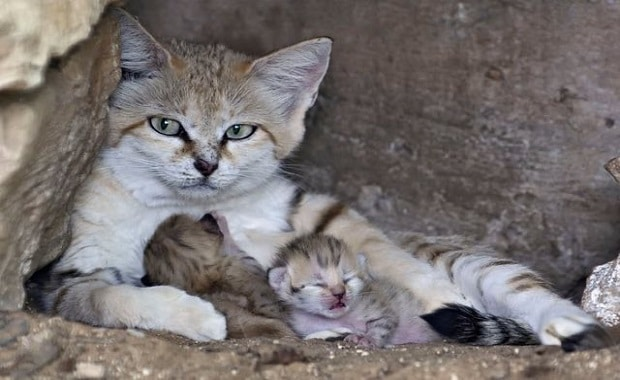 Rare Sand Cat Who Lost Her Mate Surprises All with a Special Delivery