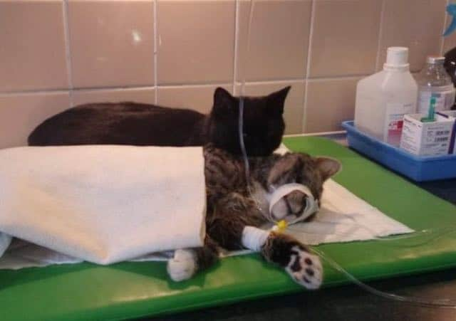 Rescue Cat Becomes Nurse at Shelter Caring For Sick and/or Injured Animals 1