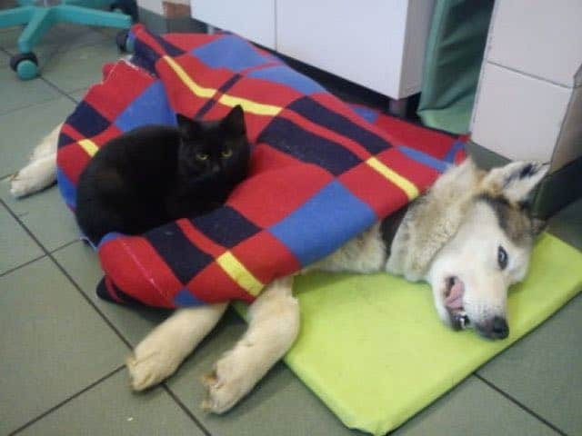 Rescue Cat Becomes Nurse at Shelter Caring For Sick and/or Injured Animals 2
