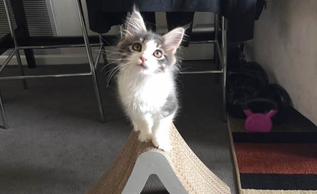 He was the Runt, Now at 8 Months Maine Coon Kitten is Tiny No More!