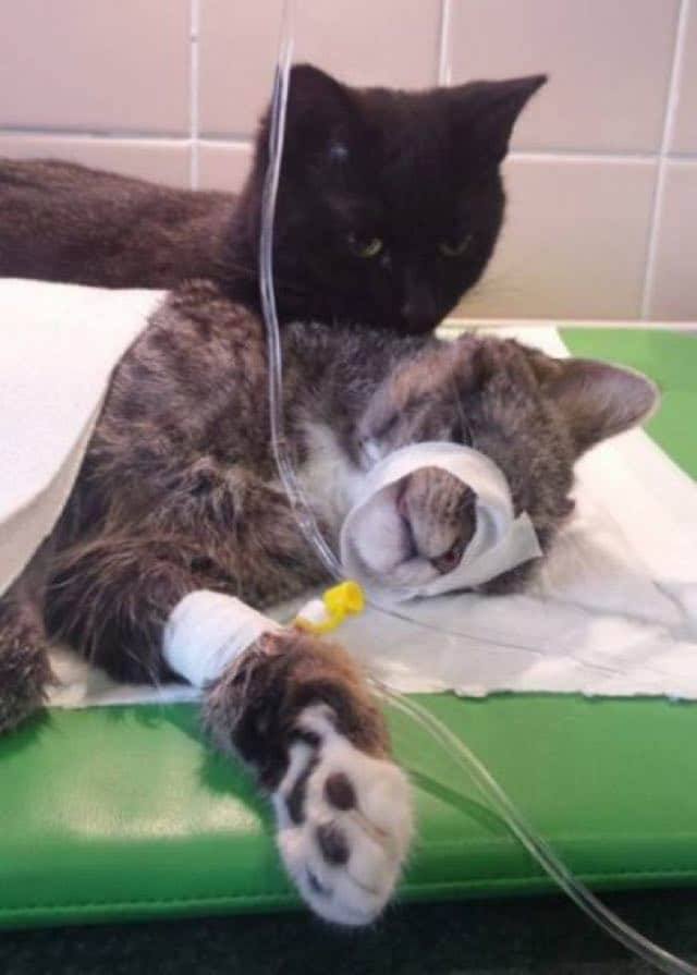 Rescue Cat Becomes Nurse at Shelter Caring For Sick and/or Injured Animals 5
