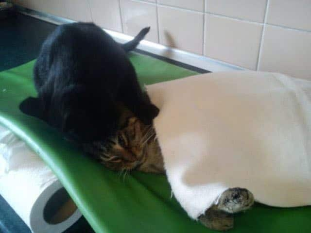 Rescue Cat Becomes Nurse at Shelter Caring For Sick and/or Injured Animals 6