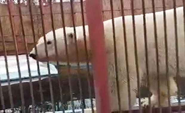Giant Polar Bear Happily Shares His Zoo Enclosure With Three Cats