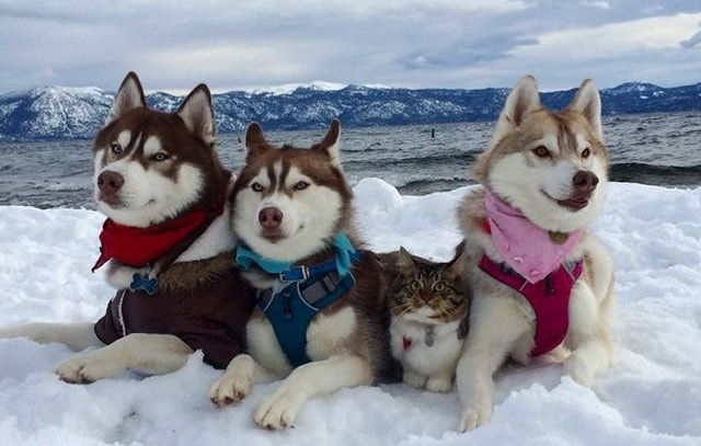 Siberian Huskies Save Kitten's Life and Now She Believes She Is A Husky