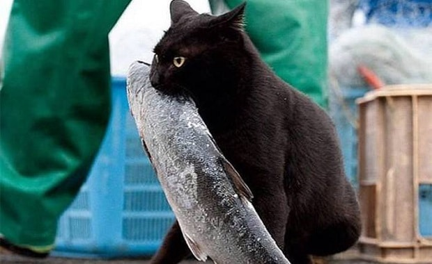 Fish-flavored Cat Food Could Contribute to Feline Hyperthyroidism, Scientists Suggest