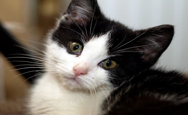 How Cats REALLY Get Their Black and White Spots
