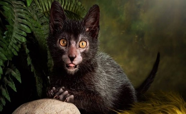 Breeders develop a LYKOI CAT that looks like a WEREWOLF