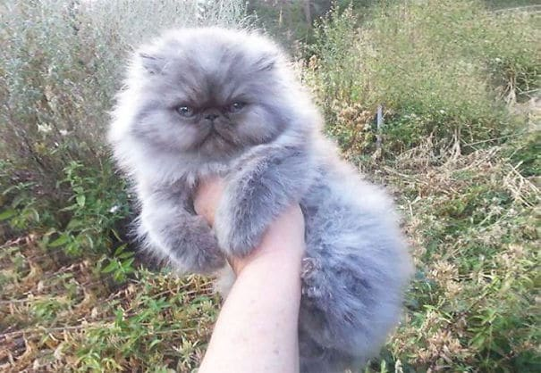 THE 20 FURRIEST CATS IN THE WORLD! 3