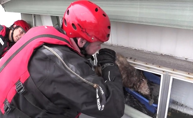 Missouri Pets in Peril Amidst Rising Floodwaters – Watch the Rescue Videos