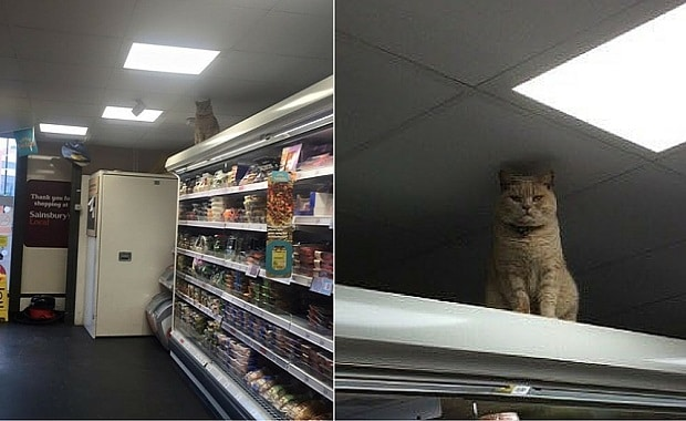 Cat Who Went Viral for Stalking Customers at a Sainsbury Store Going Viral Again