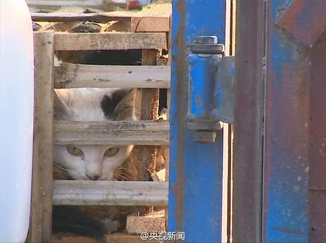 1,000's of Stolen Cats Jammed into Crates Are Rescued by Animal Activists in China 1
