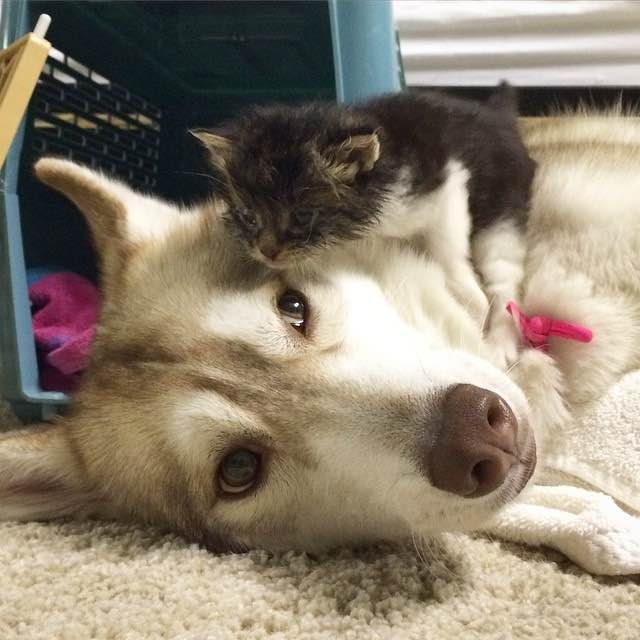 (Photo : Twitter/Lilo The Husky) Lilo the Siberian husky took over as mother to little three-week-old rescue kitten Rosie. The love and devotion Lilo showed Rosie saved the little kitten's life.