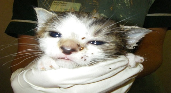 Cruel: RSPCA picture of the cats found in a horrific state in the care of Angela Tennant