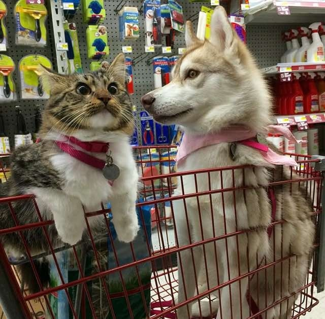 (Photo : Twitter/Lilo The Husky) Rosie and Lilo during a shopping trip to their favorite pet shop. Rosie isn't finding the trip as relaxing as her best friend Lilo, that's for sure.