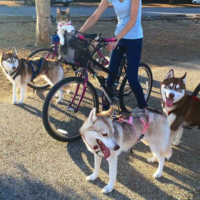 (Photo : Twitter/Lilo the Husky) Out for a bike ride, Rosie gets to ride is the basket as the huskies run along side. Can't leave Rosie at home, she's a husky in her mind.