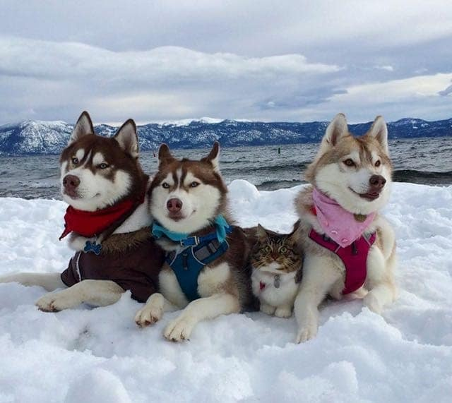 Siberian Huskies Save Kitten's Life and Now She Believes She Is A Husky 1