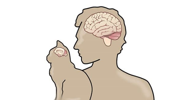 A Cat's Brain is Similar To The Brain of a Human Being, The Explanation…