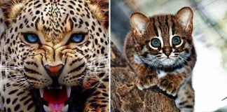 5 Wild Cats You May Have Never Heard Of