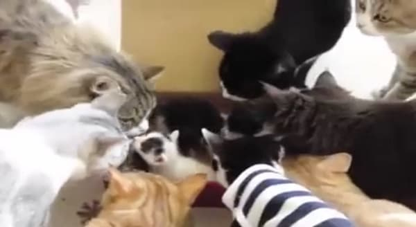 Group of Mature Cats Meeting a Box of Kittens for the First Time – VIDEO