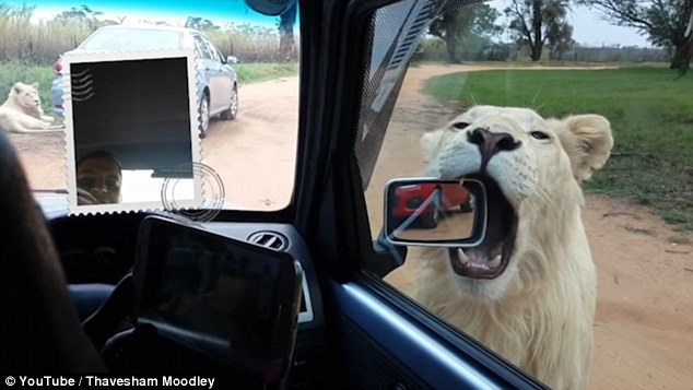 Roars of Laughter as Big Cats in a South African Safari Park Rip Off Front Bumper of Car – VIDEO