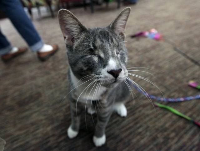 Toby, a 6-month-old blind cat waits for passers-by to interact with in the lobby of the Charles House Elder Care Services Center in Chapel Hill, N.C. Toby, a blind cat since birth, was first adopted by Hayes in November 2015 and has been making the rounds of visiting elder care residents and adult daycare centers in Chapel Hill making friends almost everywhere he goes. (Harry Lynch / AP)