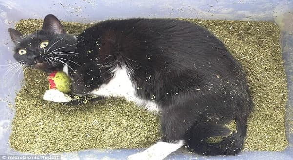 A cat owner posted this image online after buying their cat a pound of catnip along with the message 'good kitty'. While some expressed concern for the feline's welfare, experts said catnip is completely non-toxic