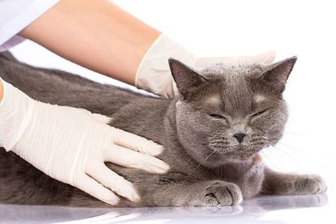 Cases of Ringworm in Cats on the Rise in Colorado, Putting Humans at Risk Also