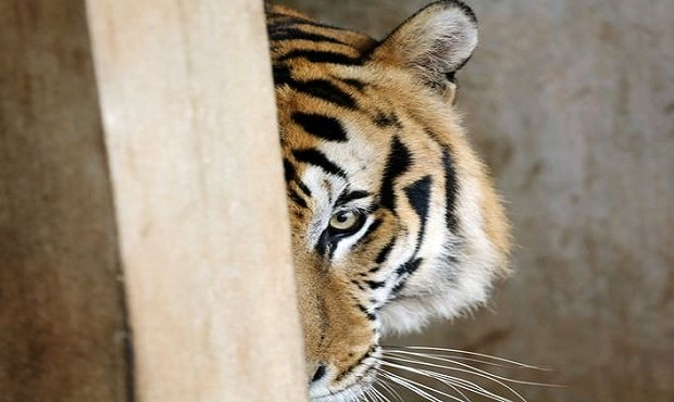 """""""Tiger Temple,"""" Finally Losing Its Tigers for Good!"""