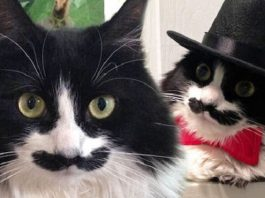 Meet Muppet! The Cat with a Handlebar Mustache. Here's the kicker ... She's a Girl!