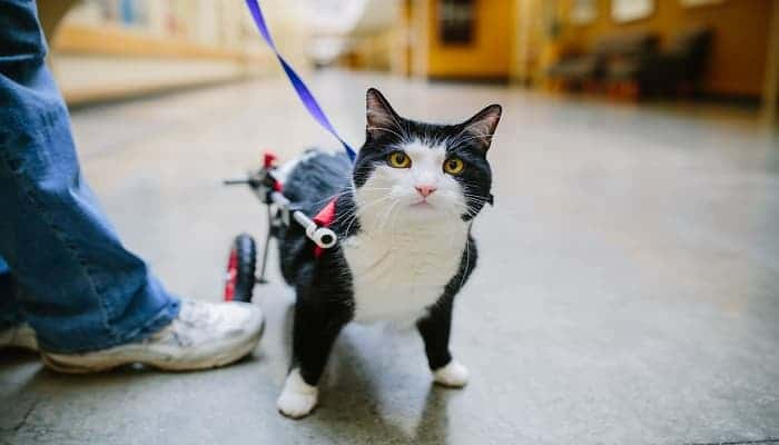 Scooter, a Paralyzed Therapy Cat, Makes People Smile and Inspires!