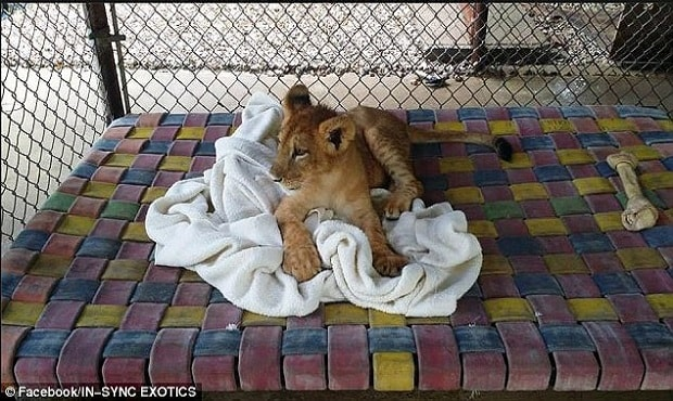 In June 2014, Lambert (above) was a cute cub rescued by Vicky Keahey, the founder of Texas' In-Sync Exotic Wildlife Rescue and Educational Center from a family that could no longer care for him