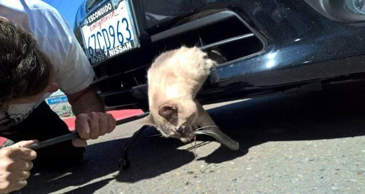 A cat was trapped in a vehicle's bumper during an 8-mile ride before a bystander noticed the feline and flagged down the driver in San Diego County on Feb. 24, 2016. (Credit: County of San Diego Department of Animal Services)