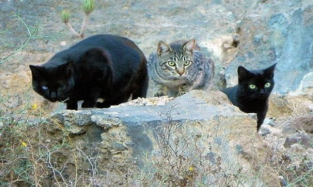 WANTED: HERO! For 3 'Feral' Cats in Ohio Who Have Lost Their Forever Human. Click to Learn More …